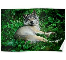 Canis Lupus - Grey Wolf Poster