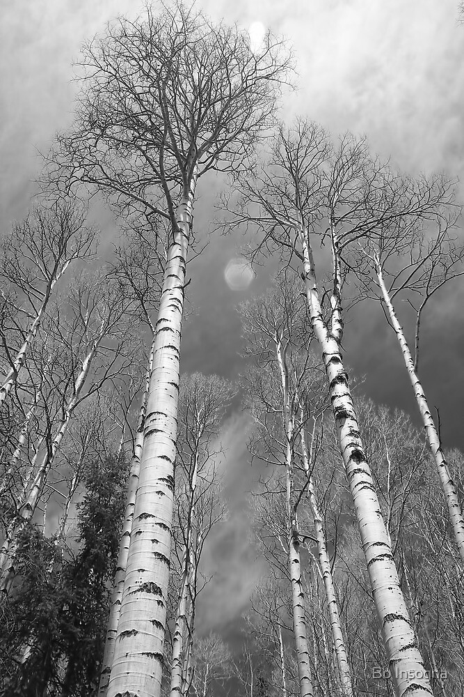 Black and White Towering Aspen Trees by Bo Insogna