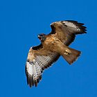 Red Tailed Hawk Cry by Chris Heising