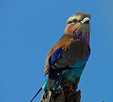 Lilac Breasted Roller by Aldi221
