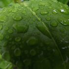 Leaf Water Droplets by Becccaa