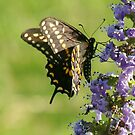 Black Swallowtail by catherinemhowl