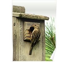 House Sparrow (Passer domesticus) 1 Poster