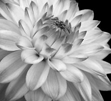 black and white flower by cazjeff1958