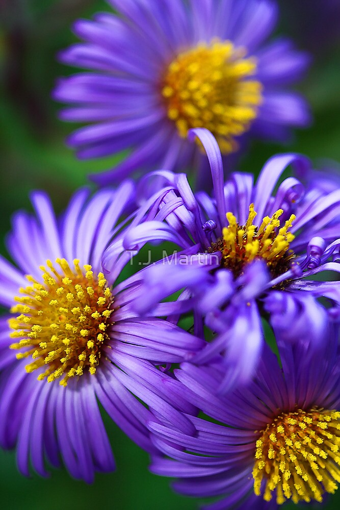 Wild & Beautiful Fall Aster by T.J. Martin