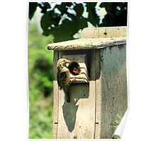 House Sparrow (Passer domesticus) 3 Poster