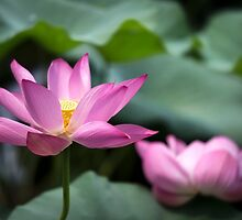 Pink Water Lilies by SeeOneSoul