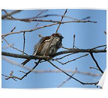 House Sparrow (Passer domesticus) 14 Poster