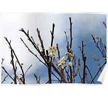 Buds Of White Blossom Poster
