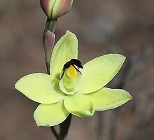 Thelmitra antennifera - Rabbit ears sun orchid. by Cindy McDonald