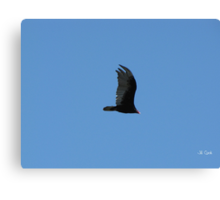 Turkey Vulture (Carthartes aura) 1 Canvas Print