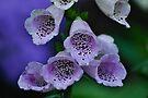 foxglove by gary roberts