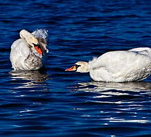 Swans Do Morning Yoga by Chris Lord