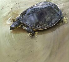 SENEGAL FLAPSHELL TURTLE Cyclanorbis senegalensis (NOT A PHOTOGRAPH OR PHOTOMANIPULATION) by owen bell