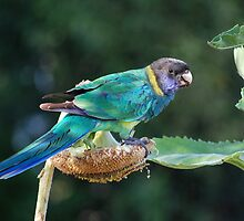 Are you watching me? - Port Lincoln Parrot by Ian Berry