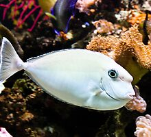 Unicorn Fish - Kula Eco Park Fiji by Belinda Doyle