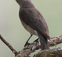 ''Male Leaden-flycatcher'' by bowenite