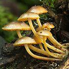Mycena leaiana var. australis by John Harrison