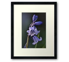 Blues of Bluebells Framed Print