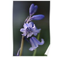 Blues of Bluebells Poster