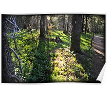 Light shafts through trees in the Sierras Poster