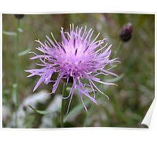 Spotted Knapweed- Centaurea biebersteinii Poster