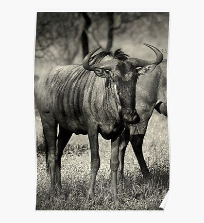 CURIOSITY - Kruger National Park Poster