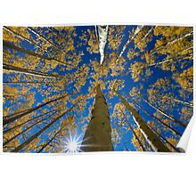 Aspen Canopy - Big Cottonwood Canyon Poster