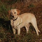 Labrador Retriever by Lisa Jones Caldwell