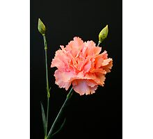 Pink Carnation Photographic Print