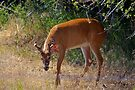 White-tailed buck in velvet by amontanaview