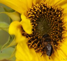 Sunflower & the Bee by riotphoto