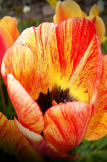 Two Toned Tulips. by Aj Finan