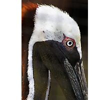 Pelican In Rescue Photographic Print