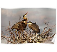 Great Blue Heron Nest Poster