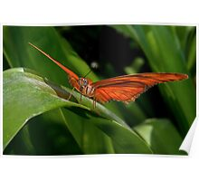Julia Heliconian butterfly, (Dryas Iulia) Poster