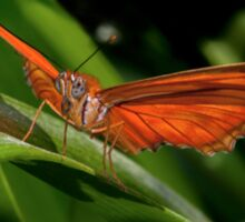 Julia Heliconian butterfly, (Dryas Iulia) Sticker