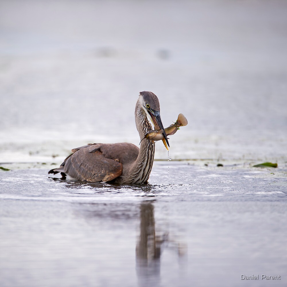 Heron with fish  by Daniel  Parent