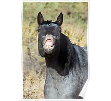 Wild Blue Roan Mare... Checking Me Out Poster