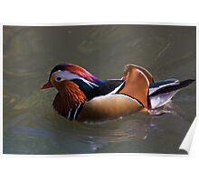 Beautiful plumage! Poster