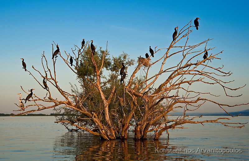 Cormorants' gathering at sunset by Konstantinos Arvanitopoulos