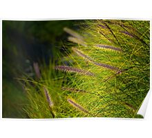 Fountain Grass, Pennisetum alopecuroides, in bloom Poster