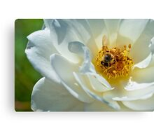 Bee on a white rose Canvas Print