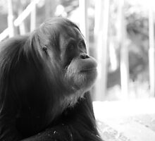 orang-utan. melbourne zoo - victoria by tim buckley | bodhiimages
