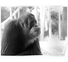 orang-utan. melbourne zoo - victoria Poster