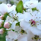 Pear Blossoms by Rachel Stickney
