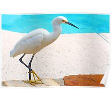 Snowy egret by pool Poster