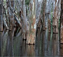 Red Gums in Murray River Flood, Koondrook by TraceyParr