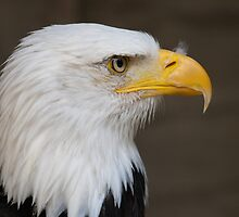 Bald Eagle by Neonlight