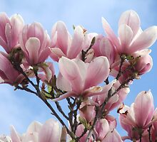 Magnolias (6783) by ScenerybyDesign